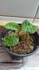 Macodes petola jewel orchid Juwelorchidee