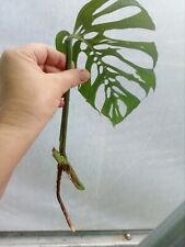 """---MONSTERA  EPIPREMNOIDESS """"ESQUELETO""""------CUTTING WITH ROOT"""
