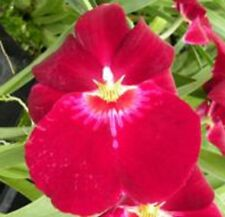 Miltonia BERT FIELD 'LEASH' seedling orchid plant in 100mm pot