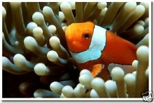 Clown Fish - Nature Wildlife Nemo Animal Print   POSTER