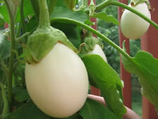 30 EASTER EGG PLANT Ornamental Eggplant Nest Egg Seeds