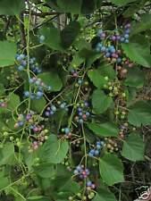 rare -- porcelain vine seeds -- amazing fruit colors