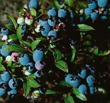 1X LARGE BLUEBERRY JERSEY BUSH - FRUIT PLANT - WELL BRANCHED - 30-40cm 2L