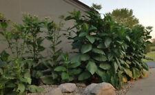 10,000+ Seeds - Organic Burley Tobacco Plants for decor, pest control Dyi Spray
