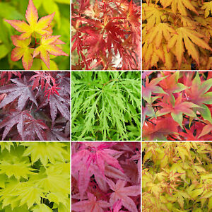 3 x Acer Trees | Japanese Maple Tree | Potted Outdoor Hardy Garden Ready Shrubs