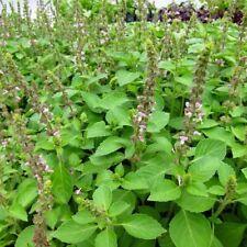 Basil Seeds - BLUE SPICE - Super Fragrant Variety - Herb Garden - 100 Seeds