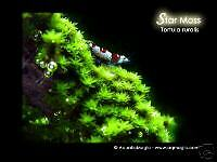 Star Moss - for Aquarium Fish Tank 20 30 40 Gallon A2
