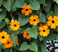 Unusual Tiger Snake Vine 5 Seeds Fast Growing Climber