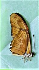 Julia Butterfly or Dazzling Orange Dryas julia Folded/Papered FAST SHIP FROM USA