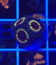 Sonic flares Palythoa WYSIWYG Coral saltwater reef tank Reefkingdom