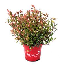 Glanzmispel Photinia fraseri 'Red Ballcoon'® im 5-L-Topf