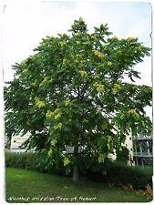 """Ailanthus altissima """"albero del Paradiso"""" 45+ Semi"""