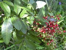 Schinus Terebinthifolius-brasiliano Pepper Tree - 10 Semi