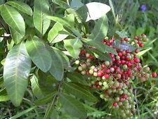 Schinus Terebinthifolius-Árbol De Pimienta Brasilero - 10 semillas