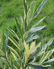 3 Oleander Stecklinge - SPLENDENS FOLIIS VARIEGATA - panaschiertes Laub + Duft