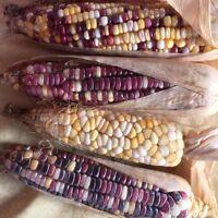 🔥 🌽  bunter Indianer-Mais * zum kochen und grillen * 6 Samen