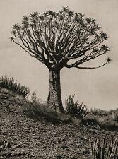 1929 Vintage AFRICA Aloe Tree And Cactus Plant Landscape Photo Gravure Art 11X14