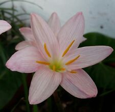 Rain Lily Bulb Zephyranthes 'Giant White' Rainflower Magic Lily Flowering Size