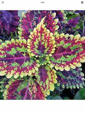 Rainbow Mix Coleus Flower Seeds*Vibrant*Indoor & outdoor plant