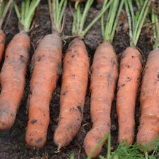 graines de carotte touchon 5700 graines environs demi longue précoce
