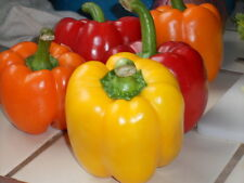 Heirloom 200 Seeds Color Bell pepper Sweet Chilli Pepper Mixed Colors Vegetable