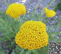YARROW CLOTH OF GOLD - Achillea Filipendu. - 3100 seeds - Perennials flower #822