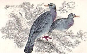 1860's vintage WOOD PIGEON PIGEONS bird original hand painted engraving - LIZARS