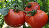 10 graines de tomate rare JOSEPHINE CARTER excellente très productive heirloom