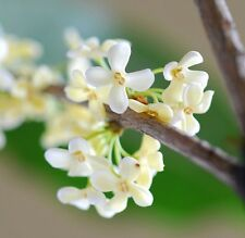 TEA SWEET OLIVE Osmanthus fragrans - 25 seeds MIX colors