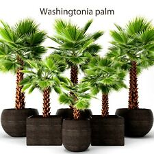 Mexican Fan Palm - 5 seeds - Washingtonia robusta - Great for house plant