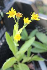 Arnika, winterharte ausdauernde Heilpflanze, Jungpflanze