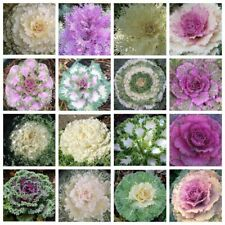 100 Ornamental Kale Seeds Mixed decor for Home Garden Flowering Cabbage Plant