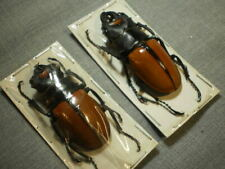 2 insects full data species 2 1/2+ inches A 1 premounted for easy handling