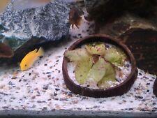 2x Red Tiger Lotus bulb live aquarium plant tropical betta hide and 1x Green lot