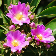 Pereskia grandifolia @@ rare cacti leaves tree leaf exotic cactus seeds 10 seeds