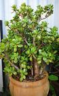 Crassula Ovata Money Jade Plant Succulent Cutting Clipping 3