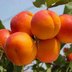 Aprikosen Baum - winterharte Pflanze 140-170cm im Topf - Früchte