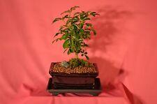 INDOOR BONSAI, DWARF SCHEFFLERA (HAWAII UMBRELLA TREE) 5 YEARS OLD, BROOM STYLE.