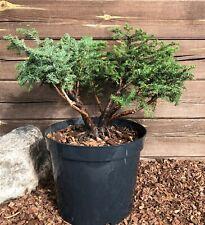 Picea abies ,,Nidiformis''- Norway spruce - niwaki- topiary- bonsai tree starter