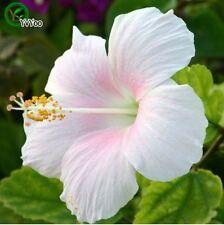 50 Pc Hibiscus seeds Balcony Bonsai Flower Seeds Flowering Plants White almond