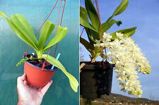 Rhynchostylis gigantea alba, Orchidée, Orchid