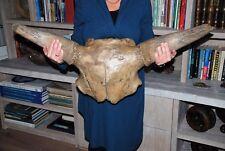 Steppebison Skull