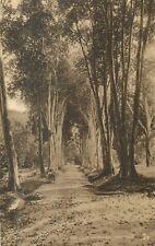 TRINIDAD bay tree avenue royal botanic