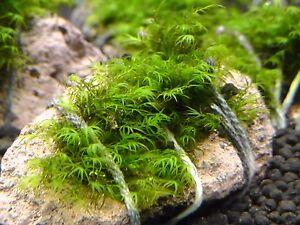 Phönixmoos fissidens fontanus Aquariummoos Garnelenmoos auf Lava Größe S Nano