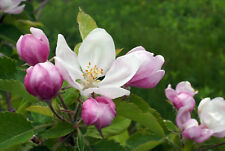 Apple Blossom by Peak® Type Soap / Candle Making Fragrance Oil 1-16 Ounce