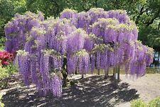 Blauregen Wisteria sinensis 5 Samen VERSAND FREI !!!