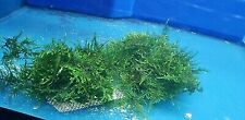 WEEPING Moss On A Net Pad Carpeting Live Plant Pond Aquarium Oxygenating Hardy