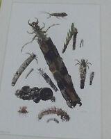 Objet scolaire planche insecte N°105 GRANDE PHRYGANE