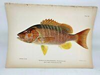 Original Antique Lithograph Fishes Puerto Rico Bien 1899 Plate 18 Dog Snapper