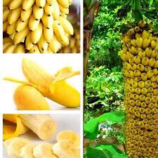New listing 100Pcs Rare Dwarf Banana Tree Seeds Mini Bonsai Exotic Seed Home Garden Plant nw